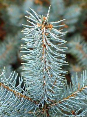 Diferentes tipos de pinos ehow en espa ol for Tipos de pinos para jardin fotos