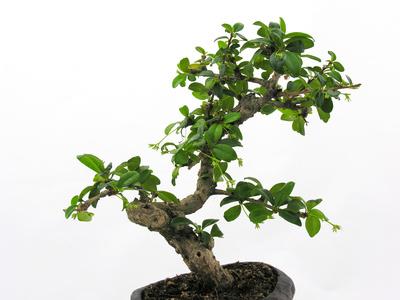 How To Identify Bonsai Trees
