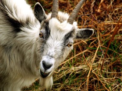 What Are the Treatments for Ringworm on Goats?