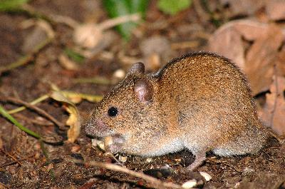 Field mouse animal - photo#18