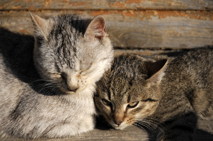 Home Remedies for Feline Acne