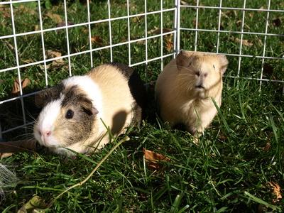 How To Keep A Pet Guinea Pig Warm Animals Mom Me