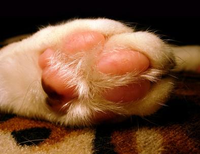Cat Toenail Infections Pets