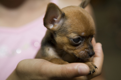 Teacup Chihuahua Facts Pets