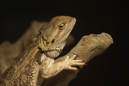 How to Trim a Bearded Dragon's Toenails
