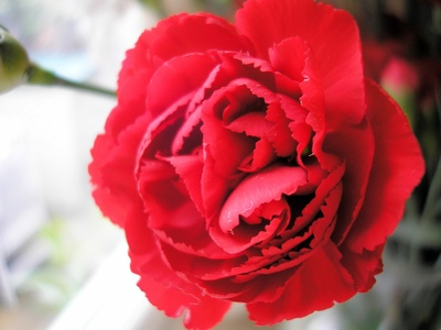 Ohio lawmakers chose the scarlet carnation as the state flower in