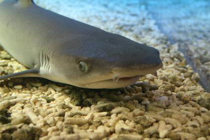 C mo comprar tiburones para un acuario en casa ehow en for Peces para acuarios pequenos