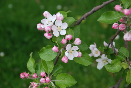 Crabapple tree identification | eHow UK