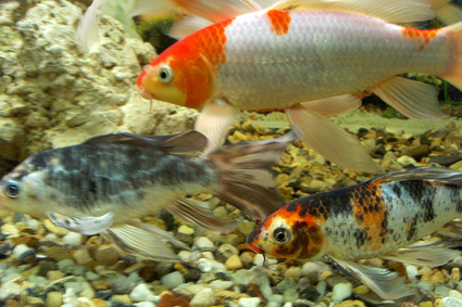 How Do You Tell If a Fish Is Male or Female?