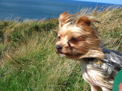 Treatment for Coughing in Yorkie Dogs | Cuteness