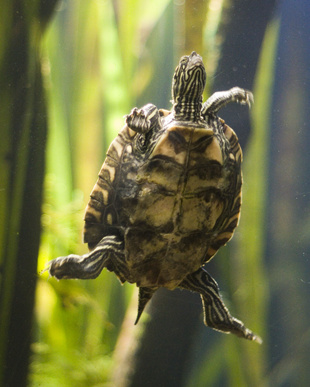How to Care for Baby Water Turtles in an Aquarium
