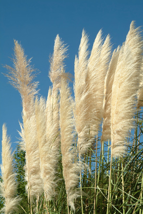 Tall ornamental grass ehow uk for Very tall ornamental grasses