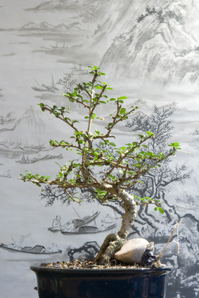 How To Care For A Golden Gate Ficus Bonsai