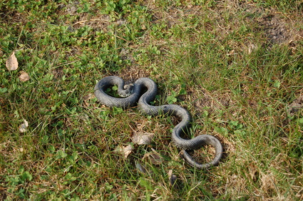 How to Identify a Rat Snake