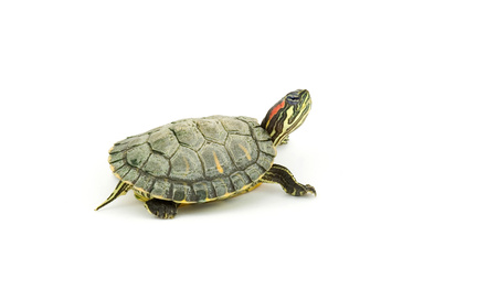 Difference Between a Male & Female Young Red-Ear Slider