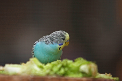 How to Tell If a Budgie Is Male or Female? | Cuteness