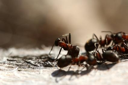 Receta de cido b rico para eliminar hormigas ehow en - Eliminar hormigas cocina ...