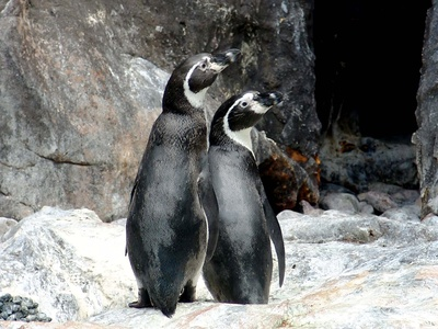 The Difference Between a Male Penguin & a Female Penguin