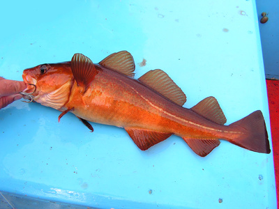 Is cod a healthy fish to eat healthy eating sf gate for Cod fish health benefits