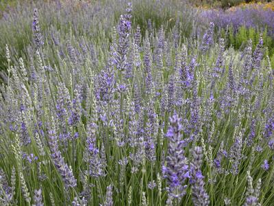 Lavender Plant Varieties Garden Guides