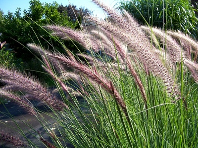 Tall grass types ehow uk for Best tall grasses