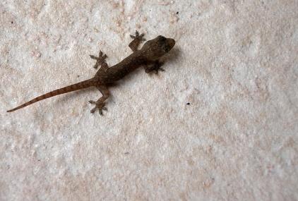 What Animals Prey on Geckos?