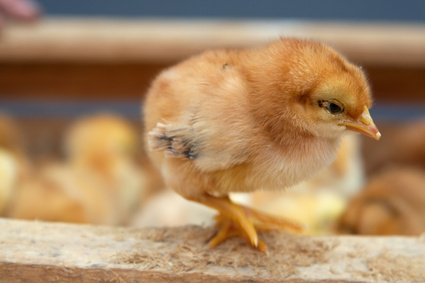 How to Distinguish if a Silky Bantam Chick is Male or Female