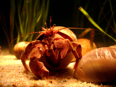 How to Tell How Old Your Hermit Crab Is