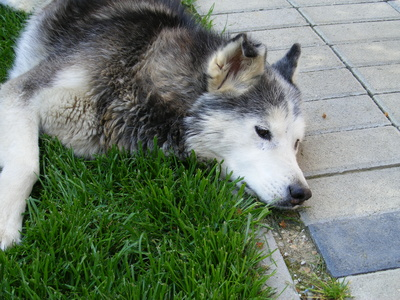 How to Stop Diarrhea in Siberian Huskies