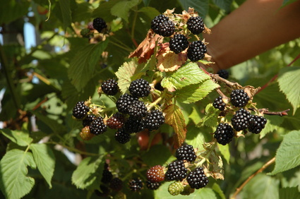 Wild Blackberry Leaves How to Prune Wild Blac...