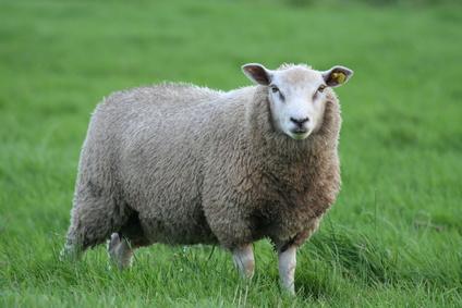Reasons for Hair Loss on Sheep