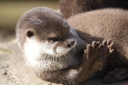How Do Otters Protect Themselves?