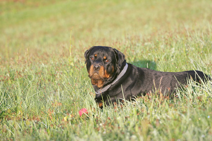 Signs of a Pregnant Rottweiler