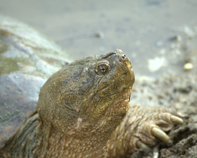 Life Cycle of a Snapping Turtle