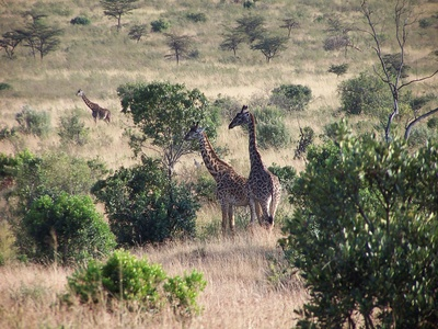 How Does a Giraffe Protect Its Babies?