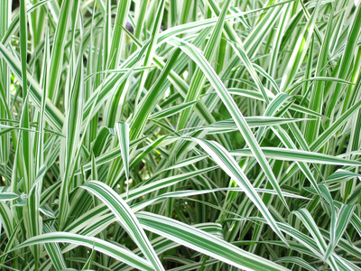 Fotolia 646798 for Low growing perennial grasses