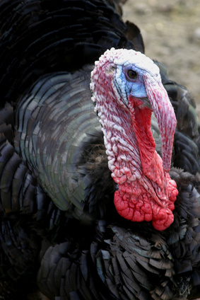 How to Tell a Young Male Turkey From a Female Turkey