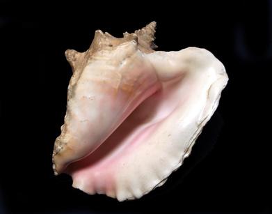 C mo limpiar el caparaz n de un caracol marino ehow en - Como limpiar cristales grandes ...