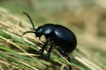 How to Identify Beetles in Ontario, Canada | Sciencing