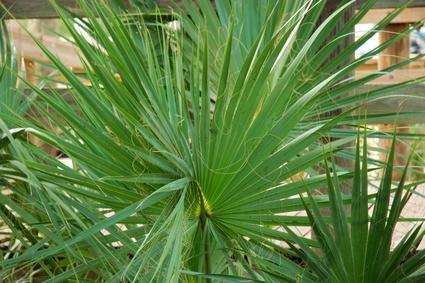 Consejos para las hojas marchitas de las palmeras de for Palmeras de interior