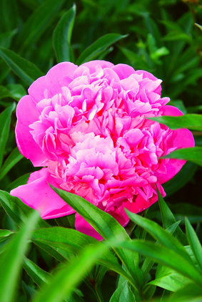How To Deadhead Peonies Garden Guides
