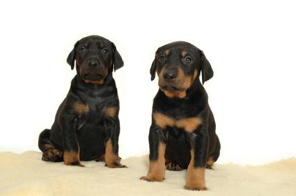 Puppy Bladder Development