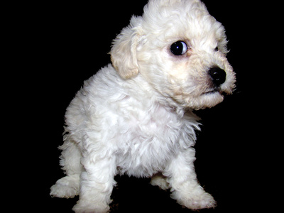How To Care For Toy Poodle Puppy Pets