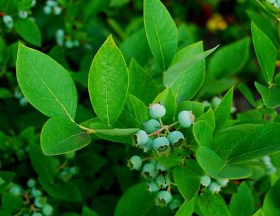 edible berries that mature in september