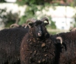 are all black sheep male