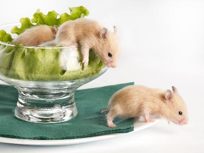 Teddy Bear Hamster & Pregnancy   Animals - mom.me