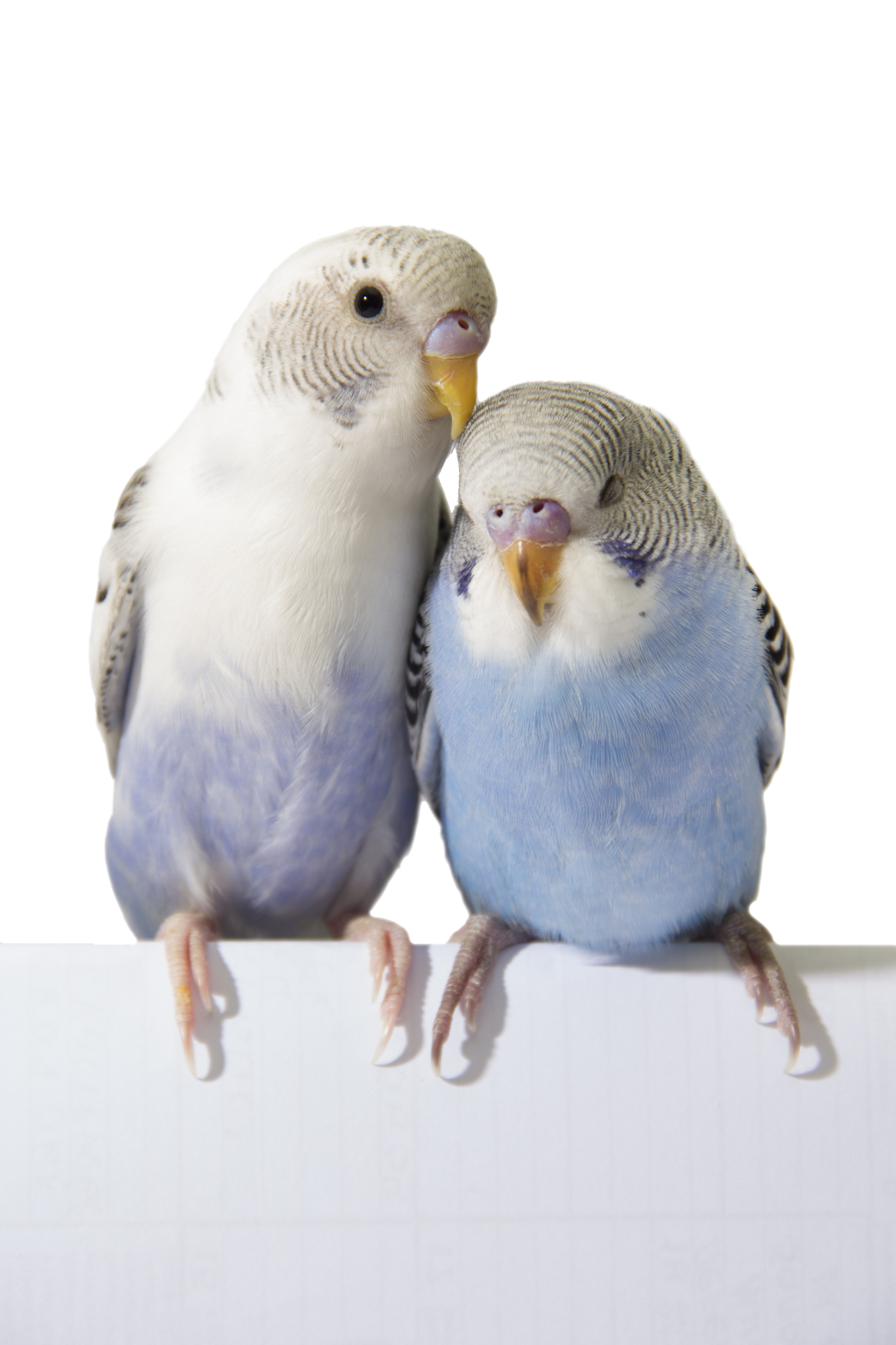 How Can I Tell if My Parakeet is Happy? | Cuteness