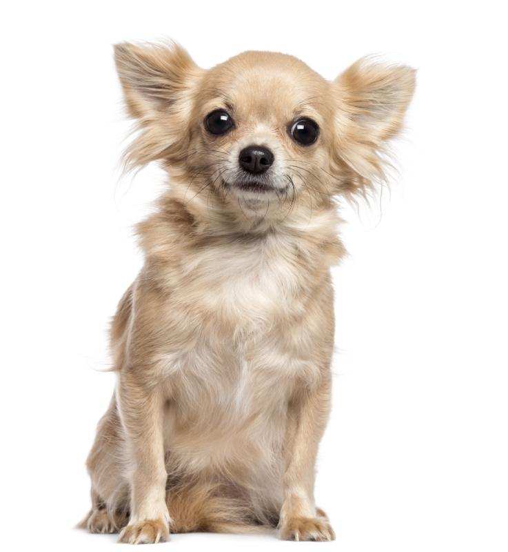 Digital Hyperkeratosis In Chihuahuas Dog Care Daily Puppy