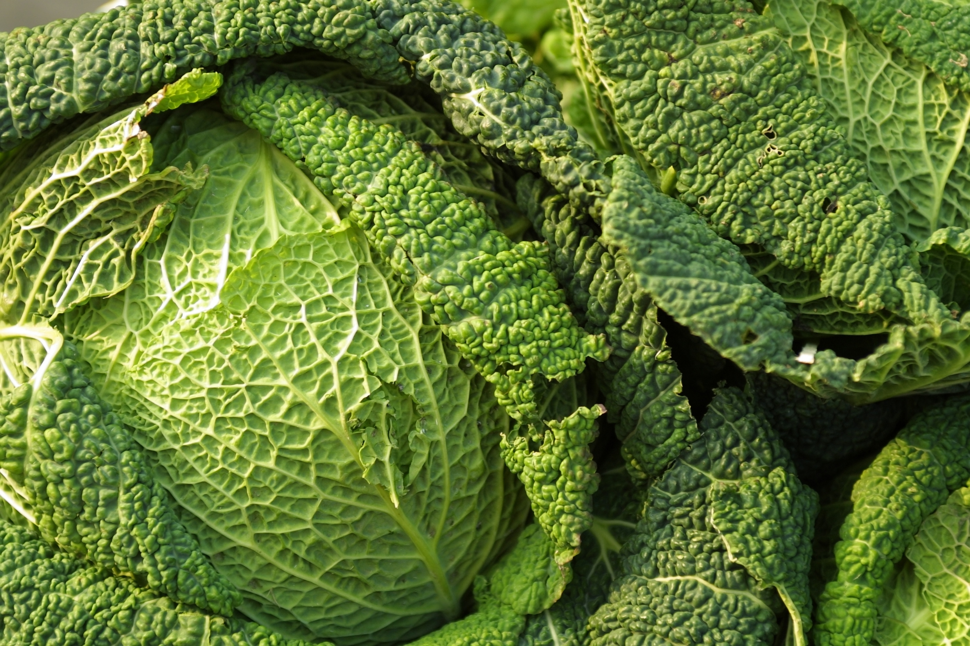 Cabbage contains plenty of fiber and nutrients.