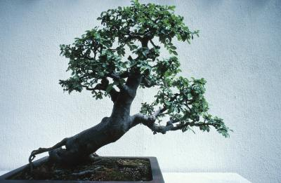 How To Care For A Canadian Hemlock Bonsai